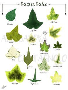 Ivy Hedera helix species varieties, woods forest tropical leaves plant illustration, botanical, urban jungle home decor