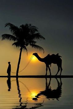 Camel walking in the darkest part of the night, illuminated by the moon! <3