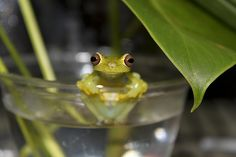 Colymba tree frog, Hyloscirtus colymba by Brian Gratwicke on Flickr