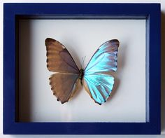 Each anniversary we buy a butterfly and add it to our wall. This was our first and my favorite Morpho Butterfly, Blue Morpho, Mosaic Patterns, View Image, Moth, Insects, Flora, This Is Us, Frame