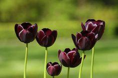 Black tulips.