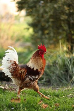 strutting rooster on a mission