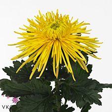 Chrysant sgl. elbrus yellow