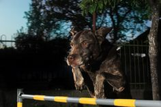 Jumping German Shorthaired Pointer, Pointers, Goats, Dog, Animals, Diy Dog, Stylus, Animales, Animaux