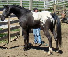 WAPUZZAN, Appaloosa Stallion in Wisconsin | Appaloosa Horses for Sale