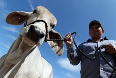 Joe Vega, 48, said he's been showing cattle at the Houston Livestock Show and Rodeo since he was 13. Even if I didn't need the money I'd come here, Vega said. Photo by Johnny Hanson / Houston Chronicle
