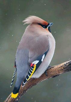 afro kşlar
