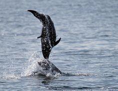 Title:  Dancing Dolphins  Artist:  Bob Hislop