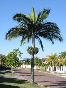 Dictyosperma album Princess Palm or hurricane Palm Can withstand high winds, salty air etc. to 10m at maturity
