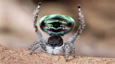 Peacock Spiders - Bing Images