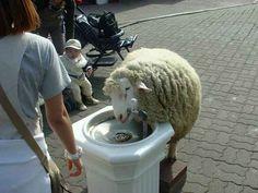 This thirsty sheep.
