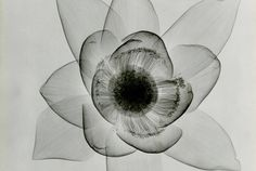 Dain L. Tasker's radiographs depict delicate flowers from the inside out