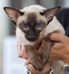 Siamese Cat, Heikki Siltala, catza.net - More Type Cat Breeds at Catsincare.com!
