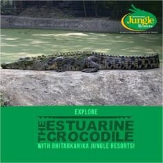 Bhitarkanika Jungle Resorts offers an exciting  trek to Hunting tower of Ancient King and cruise to different creeks on countryside boat to spot crocodiles! #BhitarkanikaJungleResorts #CrocodileSpotting