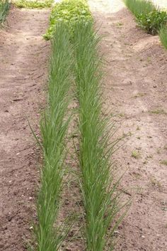 Mittleiderova metóda úzkych záhonov pre pestovanie zeleniny 2/3 - OZ Biosféra Permaculture, Garden Design, Home And Garden, Herbs, Plants, Gardening, Lazy, Tips, House