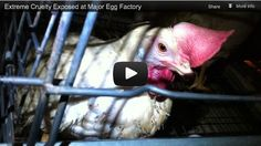 HSUS New Egg Exposé: The Reality Behind Modern Egg Production. This is a video produced by an HSUS undercover investigation conducted in February and March of 2012 at a Manheim, Pa., egg factory owned by Kreider Farms. Of the nation's 280 million egg-laying hens, Kreider cages approximately 7 million at its four Pennsylvania facilities, located in Manheim, Mt. Joy, Middleton, and Lebanon. Pennsylvania is the nation's third largest egg-producing state.