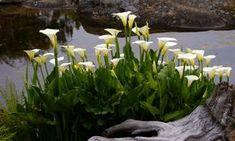Kala: skvost v bytě i na zahradě | Magazín zahrada