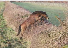 Exmoor pony gelding Tippbarlake William deserves to be in here for jumping this 7ft x 4ft whopping hedge while determined to follow the Beaufort Hunt, and clearing a further two hedges before being persuaded to return to his grazing paddock. Awesome!
