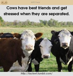 Cows---All of God's creatures have feelings. Man was intended to care enough to find out!