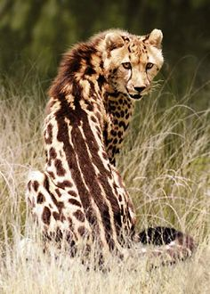 The rare King Cheetah. While a normal cheetah is generally a golden color and dappled with small, black spots, the King has spots that run together to form 3 black stripes down it's back. This unique pattern is due wholey to a recessive gene. They are extremely rare and can only usually be found within a few remote areas of Zimbabwe and Southern Africa.