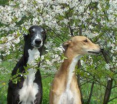 Galgos primavera