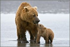 mother grizzly and cub...