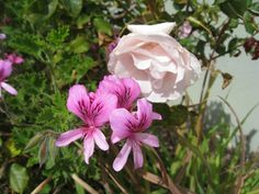 Rose and Fruit Tree Pruning Tips