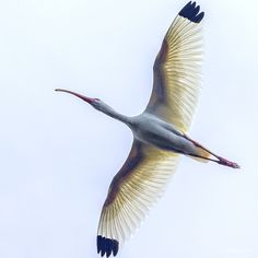 Wings of Sunshine - A white American Ibis in Florida spreads its wings in flight and the sunshine illuminates their delicate feathery structure, as it flies overhead.