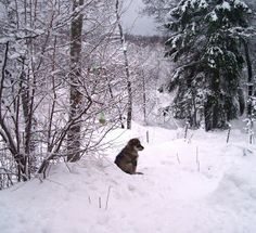 Vippe a finnish lapphund in winter wonderland <3