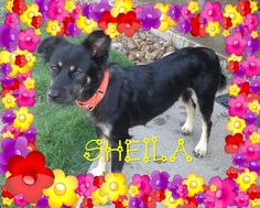 Meet Sheila, an adoptable English Shepherd looking for a forever home. If you're looking for a new pet to adopt or want information on how to get involved with adoptable pets, Petfinder.com is a great resource.