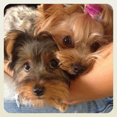 Snuggles with the girls! Yorkies, Yorkshire terrier Lilly and Bella, best friends!