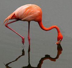 Обыкновенный, или розовый, фламинго / Phoenicopterus roseus / Greater flamingo / Птицы Европы