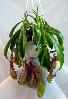 "Large Red Asian Pitcher Plant-Nepenthes - 6"" Hanging Basket"