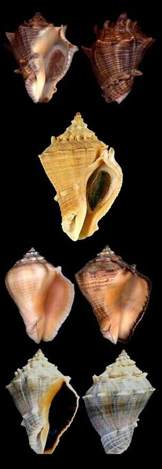 Volema myristica ~ Nutmeg Melongena; Heavy Crown Conch