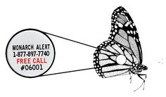 Project Monarch Alert is a citizen-based research project backed by graduate student researchers and faculty from Cal Poly in San Luis Obispo.  We focus on the demography and population fluctuations of western monarch butterflies, through sampling of overwintering populations in San Luis Obispo and Monterey Counties.