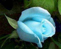 Blue Tiffany Rose