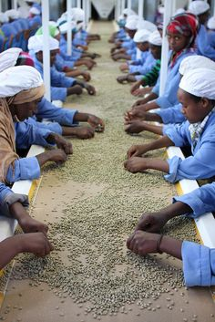 Hand sorting dried coffee beans at the Oromia dry mill, Ethiopia