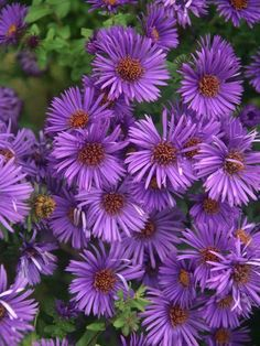 23 Fall Blooming Plants for Pollinators Aster Purple Dome Or New England Aster Full Sun Perennials, Flowers Perennials, Planting Flowers, Flowers Garden, Flower Gardening, Organic Gardening, Fall Planting, Urban Gardening, Vegetable Gardening