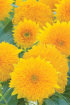 Teddy Bear Sunflowers:  Plant these extra fluffy sunflowers in your yard, and you're bound to have the most extraordinary garden in the neighborhood.