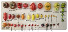 Tomaten in allerlei soorten, maten en kleuren Cherokee Purple, Inside Garden, Veggie Patch, Green Grapes, Grow Your Own Food, Vegetable Garden, Banana, Mint, Herbs