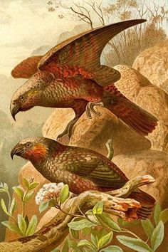 Kea Parrots. High quality vintage art reproduction by Buyenlarge. One of many rare and wonderful images brought forward in time. I hope they bring you pleasure each and every time you look at them.
