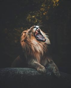 Lion Animation Wallpaper Hd For Iphone Li Pinterest Lion