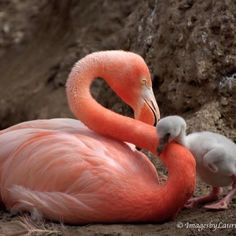 Pink flamingo with baby flamingo. I want a pet flamingo!