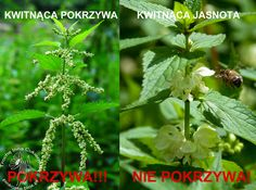 Nettle and death nettle blossoms Blossoms, Death, Herbs, Plants, Food, Flowers, Essen, Herb, Meals