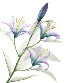 X-Ray of Plant (Lilly)