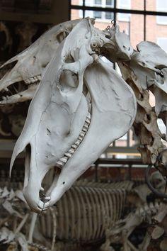 Horse skull 2 by CitronVertStock on DeviantArt Skull Anatomy, Horse Anatomy, Animal Anatomy, Animal Skeletons, Animal Skulls, Horse Skull, Fox Skull, Skull Reference, Zebras