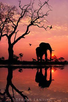 African elephant at dawn, Loxodonta africana, Chobe National Park, Botswana