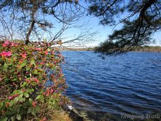 Rhododendron by #Yawgoog Pond.  Image by David R. Brierley.