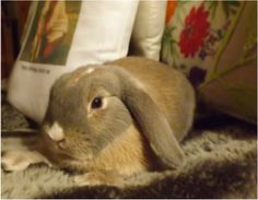 Binky (Blue Eyed White) Mini Lop is our first ever Mini lop, she is a delightful playful friendly bunny, and is a wonderful mum too. Mini Lop Bunnies, Bunny, Rabbits, Hare, Bunnies