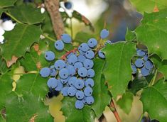 Learn what the research says about the safe and effective use of Oregon grape for treating skin conditions such as psoriasis, eczema, and more. Grape Health Benefits, Grape Plant, Oregon Grape, Medicinal Herbs, Herb Garden, Roots, Herbalism, Berries